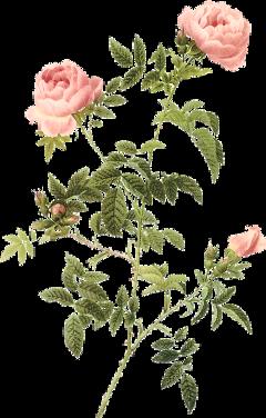 sticker roses flowers leaves rose