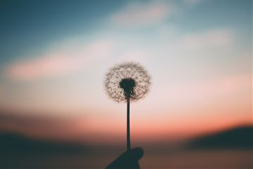 freetoedit dandelion flower wish plant