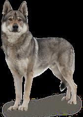 dog wolf freetoedit