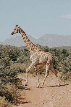 freetoedit giraffe animal nature tall