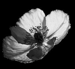 flower bw bnw ftestickers freetoedit