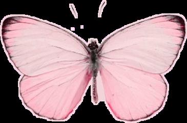 freetoedit butterfly pink pinky rosa