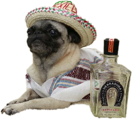 pug pugs perros tequila mexico