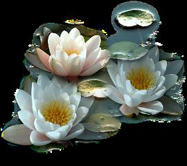 lotustri