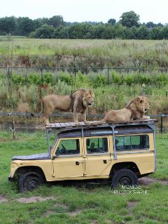 lions safari photography unedited freetoedit