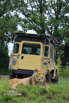 lion safari photography unedited freetoedit