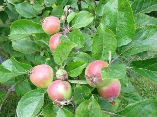 apples freetoedit