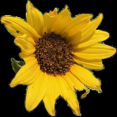 sunflower freetoedit