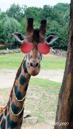 freetoedit remix remixed giraffe cool