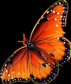 schmr schmetterling butterflys butterfly orange