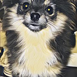 picsart puppydog petsandanimals petlove crazydog