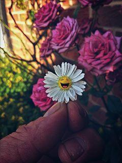 daisy flower magiceffectmoonlight mygarden happiness
