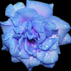 rose flower blue freetoedit