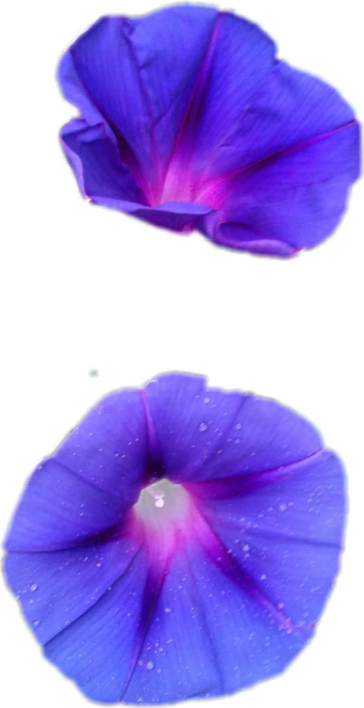 #morningglory #morning #flower #tn #alexroweshitshow