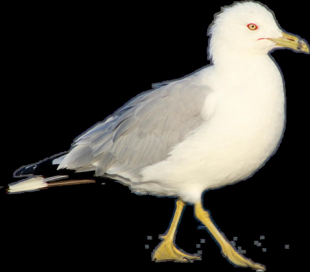 #seagull