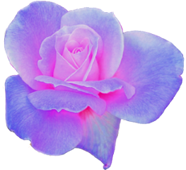 purple pink rose flower aesthetic