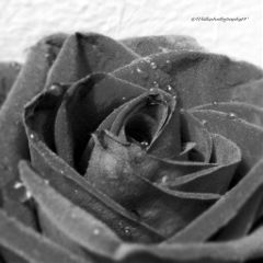freetoedit blackandwhite photography flower love