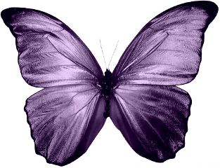 purple butterfly insect freetoedit