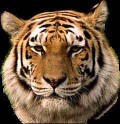 тигр freetoedit