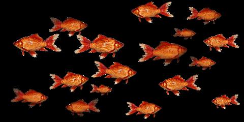 goldfish fish fishes freetoedit
