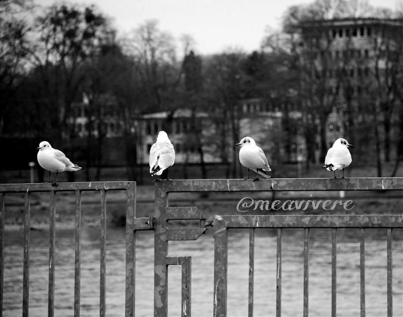 #dpcblackandwhite #blackandwhite #noedit #nofilter #unedited #seagull #seagulls #urban #travel #photography #petsandanimals #bokeh #cute #bnw_captures #bnw #bnwphotography