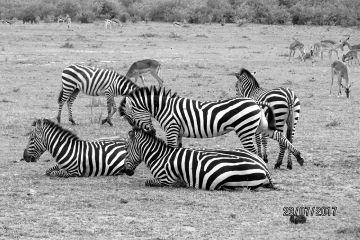 dpcblackandwhite zebra zebras wildlife africa