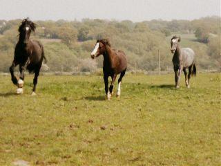 freetoedit horses welshponies noedit
