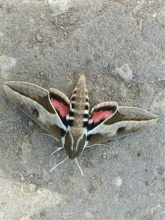 freetoedit mariposa
