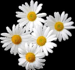flowers daisies ftestickers freetoedit