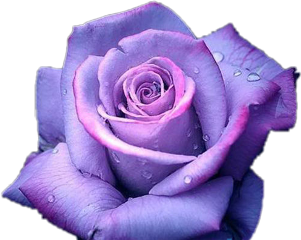 purple rose anna_wolfje freetoedit