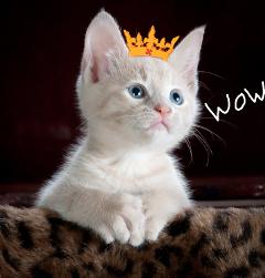whitekitty crown freetoedit wow