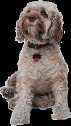 dog dogeyes pet freetoedit
