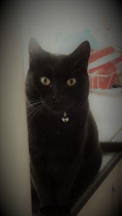 freetoedit cat animal
