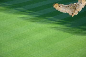 freetoedit field owl green