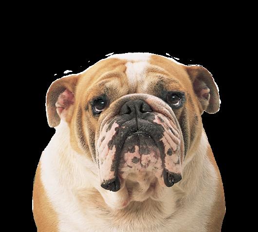 #ftestickers #freetoedit #dog #bulldog#freetoedit