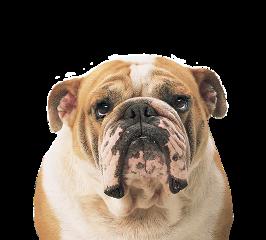 ftestickers freetoedit dog bulldog