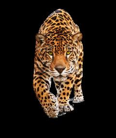 jaguar freetoedit