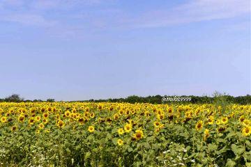 freetoedit myphoto sunflower_field photography nature