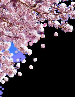 дерево цветы сакура freetoedit