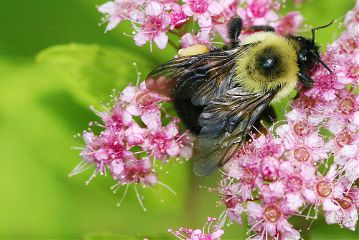 freetoedit nature insect bee