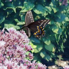 swallowtail whiteicemagic freetoedit myoriginalphoto