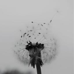 blackandwhitephotography dandelion life peace freedom freetoedit