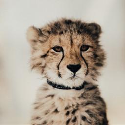 freetoedit leopard animal wildanimal wild