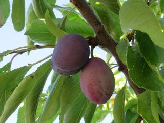 plums freetoedit