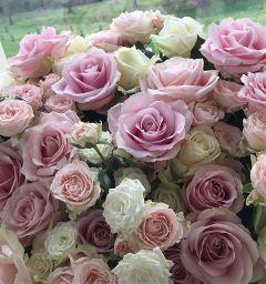 roses flower photography freetoedit