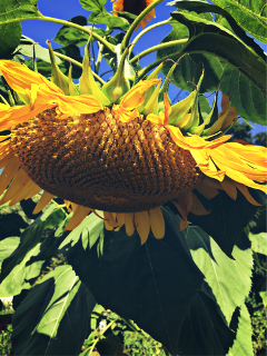 freetoedit sunflower garden photography