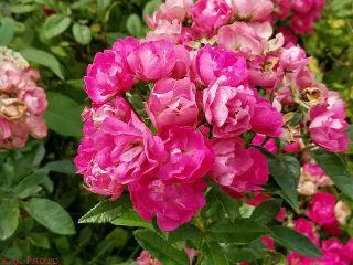 pink roses myphoto freetoedit