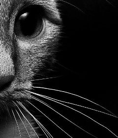 freetoedit cat black