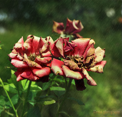 flower rose dry nature colorful