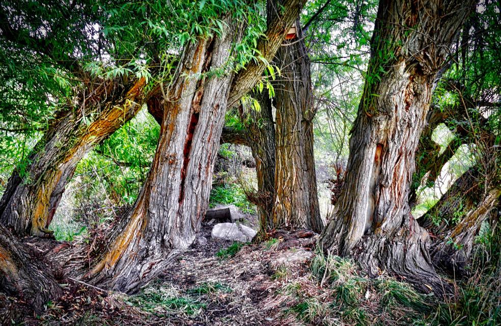 Grover #AngelEyesImages#landscape#landscapephotography#nature#naturephotography#nikon#nikonusa#nikond5300#instagrammers#instagramers#instagram#picsart#lumixphotography#lumixfz1000#lumixusa#picoftheday#trees#tree#grove#treegrove#traveler#travelphotography#traveler#utah#utahlandscape#nationalgeographic#forest#bark#colorfulbark#